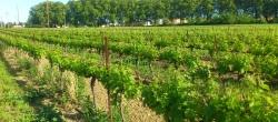 Les vignes de la Gourgasse