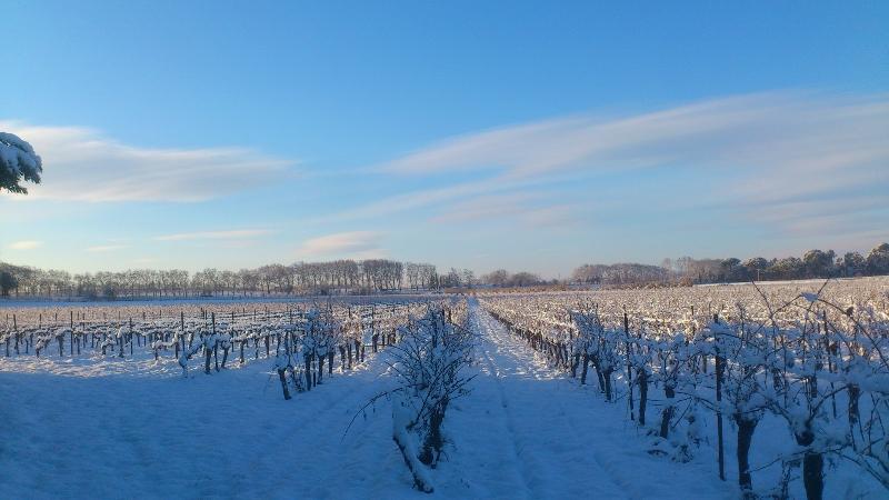 Parcelle de vigne sous la neige